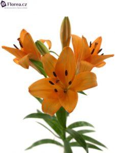 Oranžová lilie
