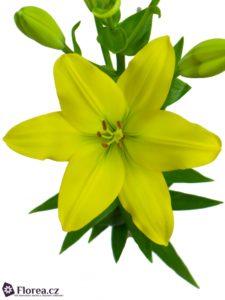 lilie-zluta